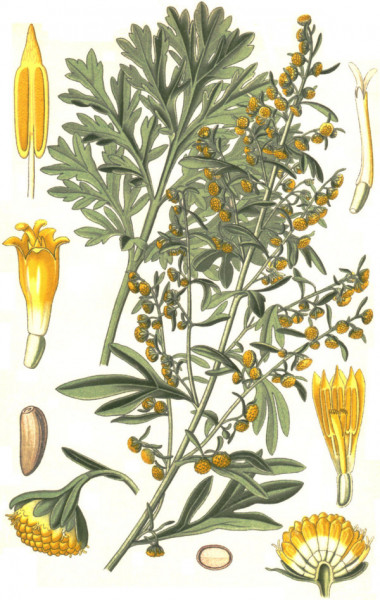 Wormwood-Artemisia-absinthium-L-drawing-of-plant-flowers-seeds-and-fruits-drawing-png